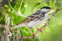 Blackpoll Warbler (tresed47) Tags: 2018 201805may 20180529longwoodflowers birds blackpoll canon7d chestercounty content extonpark folder may pennsylvania peterscamera petersphotos places season spring takenby us warbler