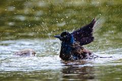 Bird Bath (Eric Tischler) Tags: