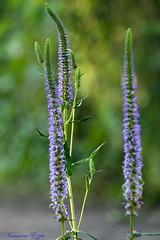Véronica spicata (Ezzo33) Tags: france gironde nouvelleaquitaine bordeaux ezzo33 nammour ezzat sony rx10m3 parc jardin fleur fleurs flower flowers mauve bleu blue
