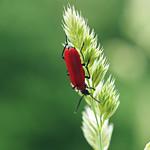 cardinal beetle thumbnail