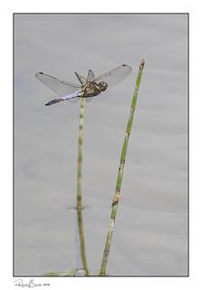 Black-tailed Skimmer Dragonfly (Orthetrum cancellatum) in flight