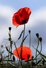 Poppies (christian.grelard) Tags: red poppy poppies flower fleur spring printemps field sigma sigma105mm nature