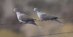 Eurasian Collared Dove (cindyslater) Tags: collareddove eurasiancollareddove wildlife bird goldenvalleyaz cindyslater wire dove arizona animal