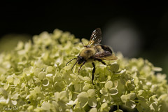 Exploring summer (Irina1010) Tags: hydrangea flowers white macro bee exploring summer nature beautiful canon ngc npc
