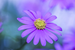 🌺🌼🌻🌷 (martinap.1) Tags: flower blume blüte nature natur blossom macro makro nikon d3300 105mm colourful violett pink