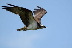 Osprey (JDA-Wildlife) Tags: birds birdsofprey raptors osprey nikon nikond7100 tamronsp150600mmf563divc jdawildlife johnny