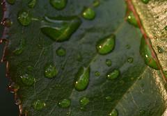 DSC_0114 Raindrops (PeaTJay) Tags: nikond750 sigma reading lowerearley berkshire macro micro closeups gardens outdoors nature flora fauna plants flowers rose roses rosebuds raindrops leaves foliage