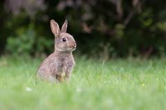 Attentive (Stefanie Heilein) Tags: baby attentive lapin kaninchen wildkaninchen nature natur wildlife