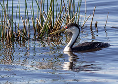 Western grebe (begineerphotos) Tags: water lake franklake alberta bird swimming grebe westerngrebe reflection reed reeds friendlychallenges