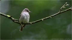 "Spotted flycatcher (DaveChapman ""If it flies,I shoot it"") Tags: spotted flycatcher spottedflycatcher bird birds migration woodland nikon nikon600mmf4vr nikond500"