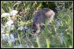 IMG_0089 Brown Rat (Scotchjohnnie) Tags: brownrat waterrat rat rodent rattusnorvegicus commonrat sewerrat nature naturephotography naturewildlifeandbirds wildlife wildanimal wildlifephotography canon canoneos canon7dmkii canonef100400f4556lisiiusm scotchjohnnie
