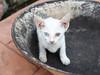 Cat with two colored eyes (Heterochromia) - Jonker Walk, Melaka Malaysia (sydbad) Tags: melakamalaysia cat with two colored eyes heterochromia jonkerwalk melaka malaysia fujifilm x100f jpeg output standard simulation