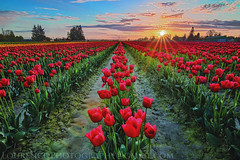 Tulips Galore (LOURENḉO Photography) Tags: sunset flower tulip tulips skagit festival flowers sun colot art row roozengaarde pacificnorthwest pnw pacific washington