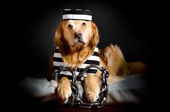 Jail Bird Dog (bztraining) Tags: 118 dogchal henry odc bzdogs bztraining golden retriever 3652018