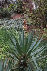 Yucca gloriosa var. tristis Carrière (Syn.Yucca recurvifolia Salisb.) - BG Madrid (Ruud de Block) Tags: ruuddeblock realjardínbotanicodemadrid asparagaceae yuccagloriosavartristis yucca gloriosa tristis