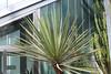 Yucca faxoniana Sarg. - BG Madrid (Ruud de Block) Tags: ruuddeblock realjardínbotanicodemadrid asparagaceae yuccafaxoniana yucca faxoniana