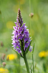 Orchid (louisejames1967) Tags: common spotted orchid stem bokeh leaves