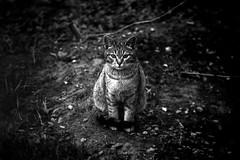 «Portrait of Tramp»  («Tramp's portrait») (nonnull) Tags: russia moscow cat gorkypark bw bwfp bnwmood bnwfilm bnw blackandwhite noiretblanc filmphotography filmphoto filmisnotdead filmtype135 film analogphotography agfaaviphotpan80 dark silberraascorol noir ru canoneos5 canon canonzoomlensef70210mm epsonstylusphotorx500 expiredfilm 35mm street streetphoto streetnotes streetphotobw animal streetphotography mood россия москва чбфото чернобелое котыикошки пленка фотопленка чб паркгорького город городскиезаметки 2018