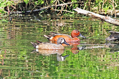 Blue-winged Teal Drake And Cinnamon Teal Drake 18-0512-7305 (digitalmarbles) Tags: cinnamonteal cinnamon teal teals spatulacyanoptera bluewingedteal bluewinged spatuladiscors duck ducks waterfowl male males drake drakes anseriformes anatidae water swimming reflection reflecting distortion ripples wake grass weeds branches wood nature wildlife animal bird birds birder birdphoto photography birdphotography wildlifephotography reifel sanctuary reifelsanctuary deltabc bc lowermainland britishcolumbia canada canoneosrebelt7i canon
