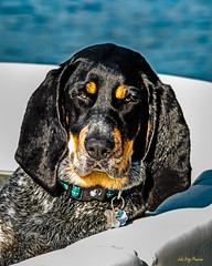 First Mate (JNM Images) Tags: hound dog