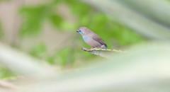 Blue waxbill. (annick vanderschelden) Tags: bluewaxbill waxbill bird wilderness vegetation selectivefocus branch uraeginthusangolensis succulent namibia