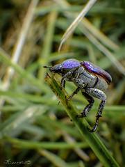 79: escalade en bleue (gingkojac) Tags: insecte bleu 365jours hoplie coléoptère montée
