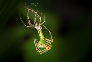 Green Lynx Spider Molting...Moulting for you across the pond...