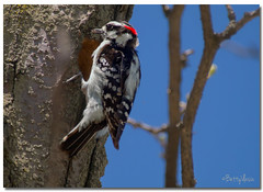 Downy Woodpecker (Betty Vlasiu) Tags: downy woodpecker picoides pubescens bird nature wildlife