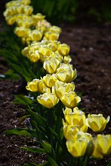 The golden mile-Blickling Estate (Gemma Hampton) Tags: flowers flower plant petals yellow golden plants leaves uk norfolk nationaltrust blickling blicklingestate tulip tulips