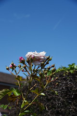 DSC_0237 (PeaTJay) Tags: nikond750 reading lowerearley berkshire macro micro closeups gardens outdoors nature flora fauna plants flowers rose roses rosebuds