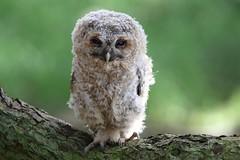 Baby Tawny owl (bilska.anna) Tags: