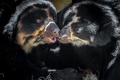 Whispering Sweet Nothings (helenehoffman) Tags: turbo spectacledbear romance alba conservationstatusvulnerable mammal tremarctosornatus sandiegozoo ursidae bear southamerica carnivore andeanbear animal
