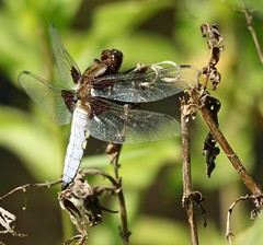 Broad Bodied Chaser (male) (westoncfoto) Tags: centenaryriverside rotherham riverdon industrial steel
