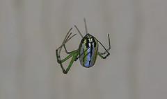 Not Cooperating (Kaptured by Kala) Tags: leucaugevenusta orchardorbweaver garlandtexas backyard deck newspeciesforme greengold closeup bug arachnid silk spidersilk web