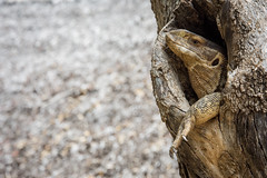 Monitor Lizard Huddled in a Tree Trunk (Alex Voets) Tags: kenya tsavoeast monitorlizard reptiles wildlife