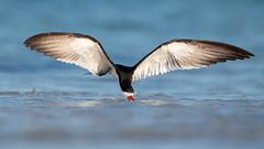 Black Skimmer (PeterBrannon) Tags: bird fishing flight florida nature reflection rynchopsniger skimmer skimming skimmingthesurface water wildlife blackskimmer lowpov ocean