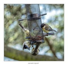 reservation required (maar73) Tags: greattit koolmees juveniel maar73 birds vogels nikond7500 nikon tamron10004000mmf4563 tree boom