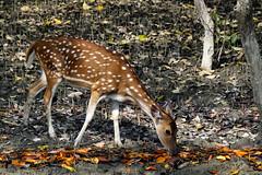 Spotted Deer at Sundarbans (pallab seth) Tags: nature wild naturereserve bengal india sundarbans সুন্দরবন ecosystem wildlifehabitat forest mangroves biosphere chital spotteddeer axisaxis cheetal deer female