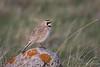 Horned Lark (Turk Images) Tags: eremophilaalpestris grasslandsnationalpark valmarie breedingseason alaudidae birds hola larks passerines saskatchewan songbirds prairie spring