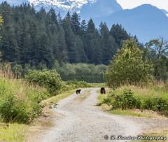 Little bear cub with mom. (R. Sawdon Photography) Tags: bear blackbear bearcub biking dyke bikepath animal wild trees britishcolumbia portcoquitlam