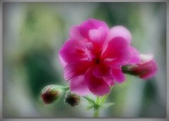 Out of the dreams...to a new dawning (SnežanaQ) Tags: flower pink double ivyleafgeranium pelargoniumpeltatum plant garden outdoor macro bokeh blur