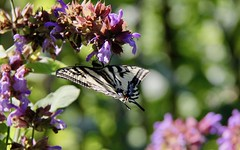 SHORT POSE (de fleur en fleur) (Pierre♪ à ♪VanCouver) Tags: butterfly borboleta papillon papallona schmetterling sommerfugl farfalla mariposa papilionidae garden jardin sage