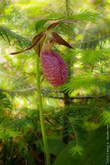 Pink Lady's-slipper (Larry E. Anderson) Tags: biome cypripediumacaule ecosystem kawishiwirangerdist minnesota ortoneffect pinkladysslipper superiorntlforest extensiontube flowersplants forest macro seasons spring trees wildflower