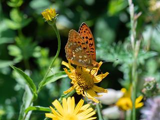 Croatia - High-brown Fritillary  (June10th)