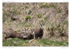 Chamois - Massif du Sancy (BerColly) Tags: france auvergne puydedome montdore chamois animaux animals montagne mountain bercolly google flickr
