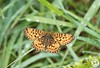 Small Pearl Bordered Fritillary - Boloria selene (Lauren Tucker Photography) Tags: butterfly closeup glasdrum highlands macro nature naturereserve scotland smallpearlboarderedfritillary wildlife boloria selene uk north west england highland unitedkingdom summer spring 2018 june holiday canon slr 7d markii camera photographer photography photograph photo image picture pic copyright ©laurentuckerphotography allrightsreserved close up wild