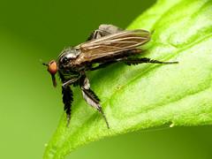 Shaggy Dance Fly (treegrow) Tags: meadowsidenaturecenter maryland nature lifeonearth arthropoda insect raynoxdcr250 diptera fly rhamphomyialongicauda taxonomy:binomial=rhamphomyialongicauda empididae
