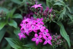 Purple flowering bush (hopedorman) Tags: plant nature botany flower flora natural bloom floral spring pink green bush