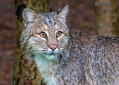 _SLL7723-2 Bobcat (Whistletown Wilds) Tags: ct bobcat wild canon lawn feline predator woods mammal portrait rain