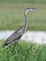 Black-headed Heron Ardea melanocephala (nik.borrow) Tags: bird heron